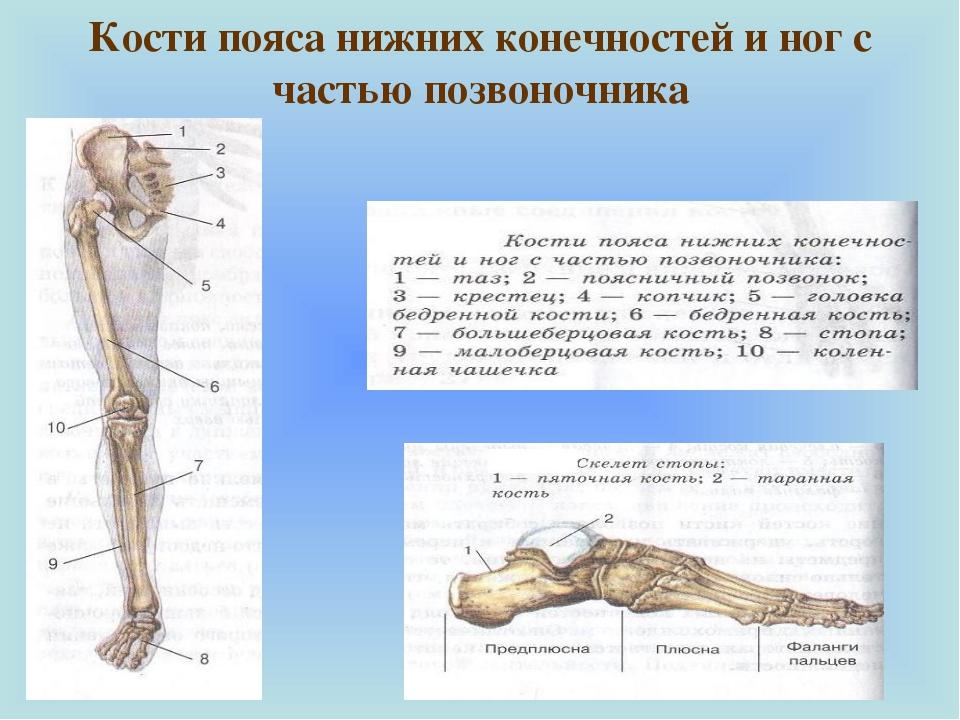 Кости пояса нижних конечностей и ног с частью позвоночника