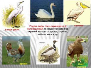 Редкие виды птиц охраняются в заповедниках. В нашей области под охраной наход