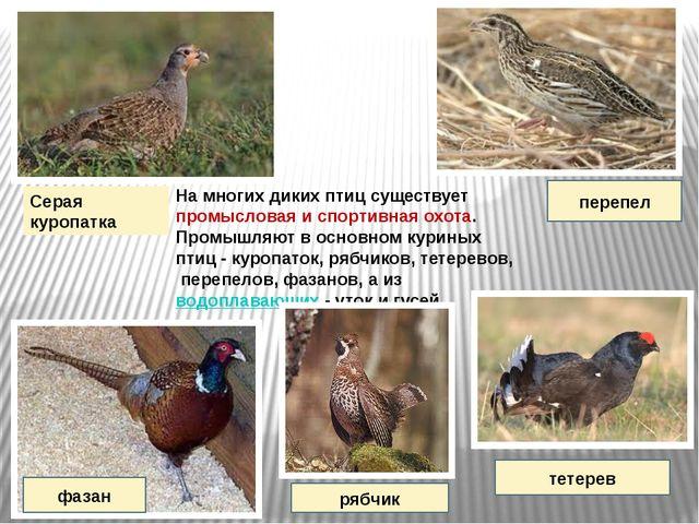 На многих диких птиц существует промысловая и спортивная охота. Промышляют в...