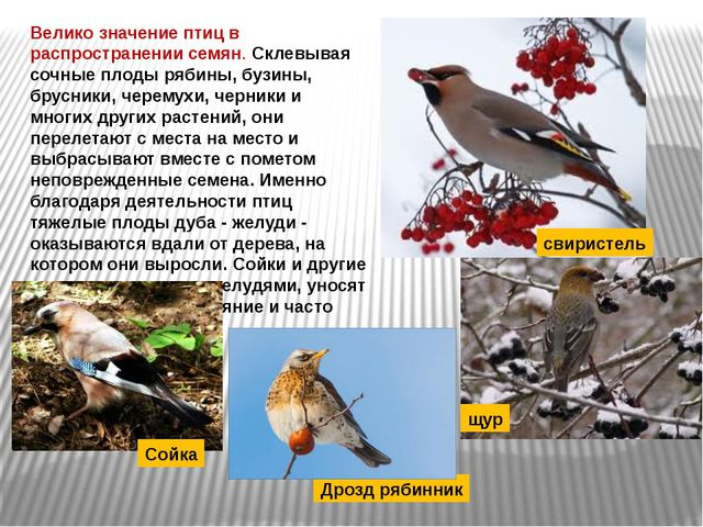 Велико значение птиц в распространении семян. Склевывая сочные плоды рябины,...