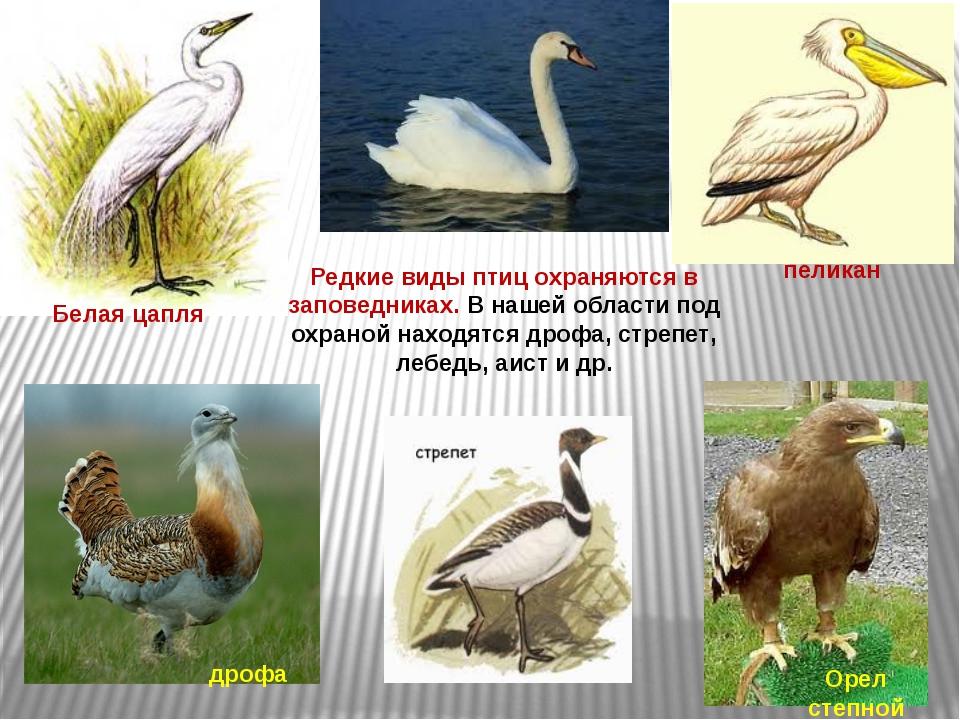 Редкие виды птиц охраняются в заповедниках. В нашей области под охраной наход...