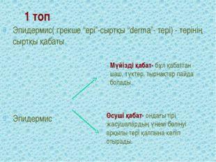 """1 топ Эпидермис( грекше """"epi""""-сыртқы """"derma""""- тері) - терінің сыртқы қабаты Э"""