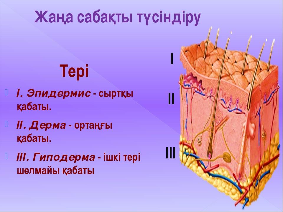 Жаңа сабақты түсіндіру Тері І. Эпидермис - сыртқы қабаты. ІІ. Дерма - ортаңғы...