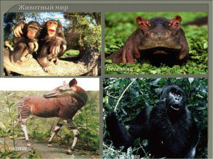 шимпанзе окапи горилла бегемот