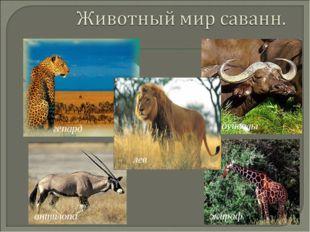 гепард антилопа буйволы жираф лев