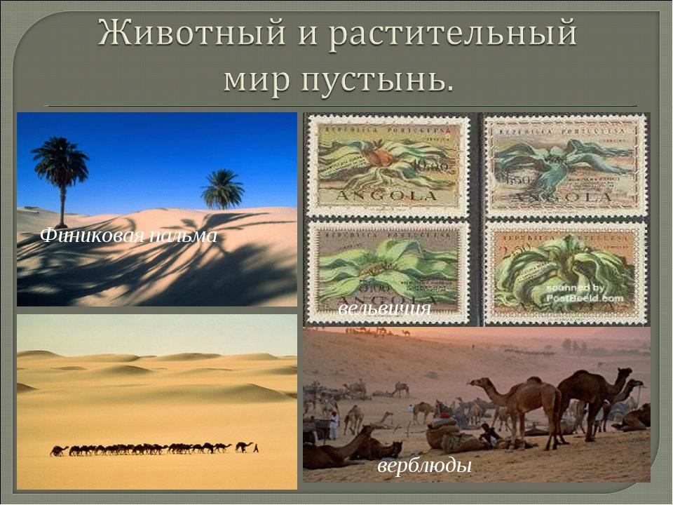 Финиковая пальма вельвичия верблюды