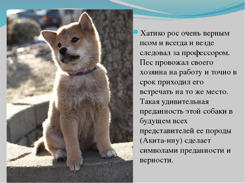 Хатико рос очень верным псом и всегда и везде следовал за профессором. Пес пр...