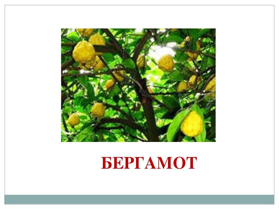 БЕРГАМОТ