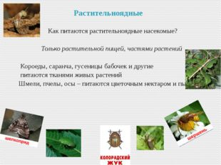 Растительноядные 9 Как питаются растительноядные насекомые? Только растительн