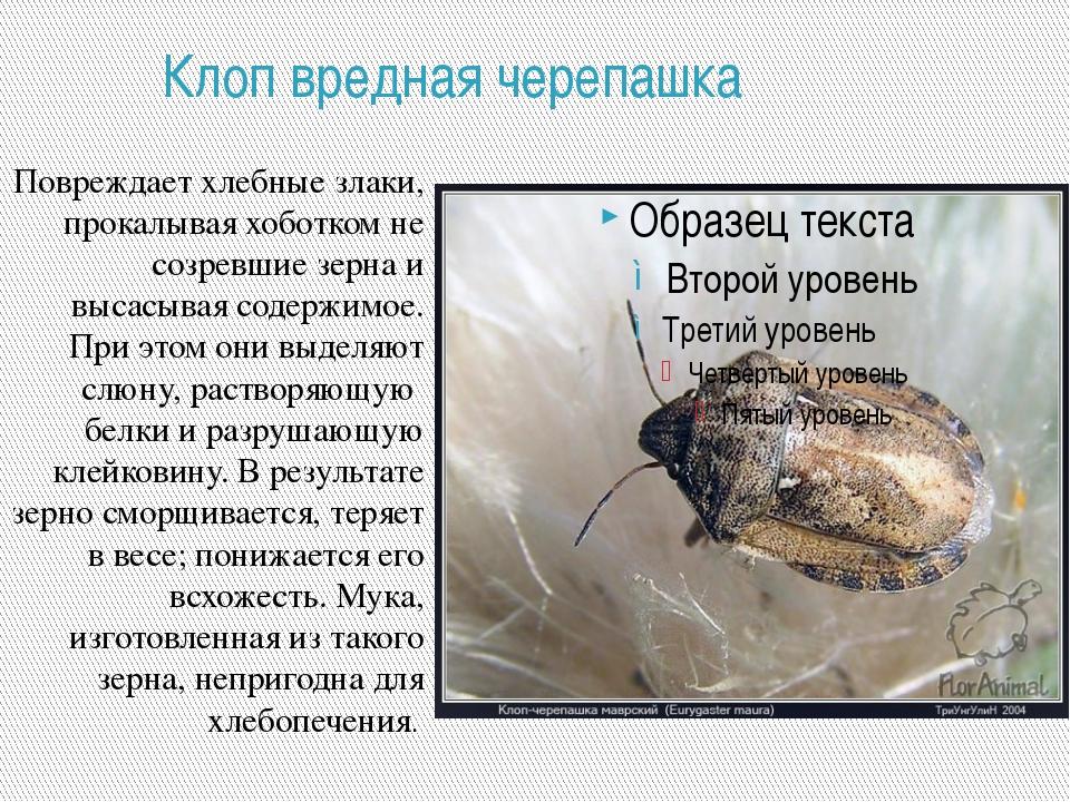 Клоп вредная черепашка Повреждает хлебные злаки, прокалывая хоботком не созре...