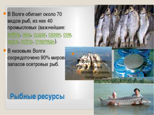 Рыбные ресурсы В Волге обитает около 70 видов рыб, из них 40 промысловых (важ