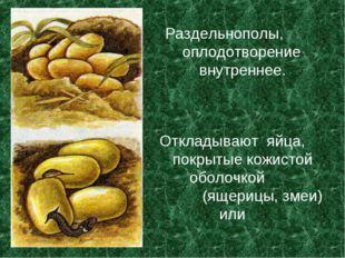 Откладывают яйца, покрытые кожистой оболочкой (ящерицы, змеи) или Раздельнопо