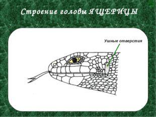 Строение головы ЯЩЕРИЦЫ Ушные отверстия