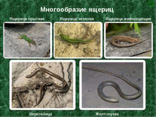 Многообразие ящериц Ящерица прыткая Ящерица зеленая Ящерица живородящая Верет