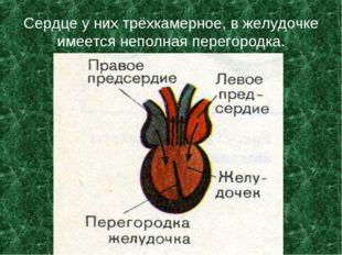 Сердце у них трёхкамерное, в желудочке имеется неполная перегородка.