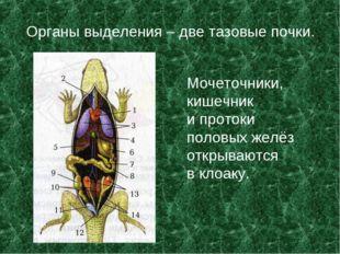 Органы выделения – две тазовые почки. Мочеточники, кишечник и протоки половых