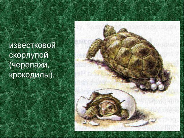известковой скорлупой (черепахи, крокодилы).