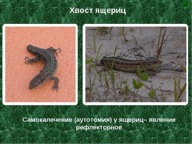 Самокалечение (аутотомия) у ящериц– явление рефлекторное Хвост ящериц