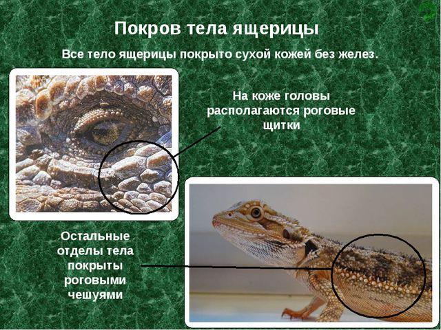 Покров тела ящерицы Все тело ящерицы покрыто сухой кожей без желез. На коже г...