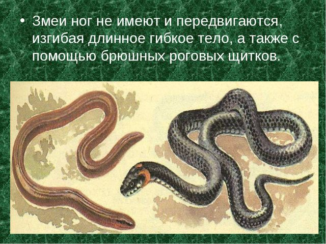 Змеи ног не имеют и передвигаются, изгибая длинное гибкое тело, а также с пом...
