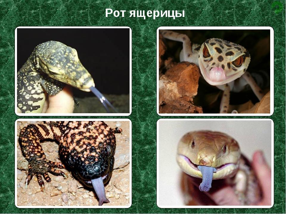 Рот ящерицы