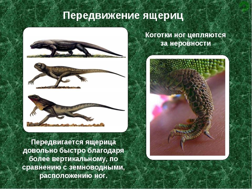 Передвижение ящериц Передвигается ящерица довольно быстро благодаря более вер...