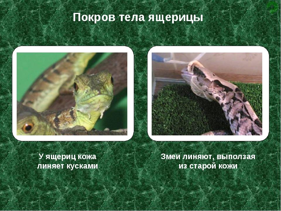У ящериц кожа линяет кусками Змеи линяют, выползая из старой кожи Покров тела...