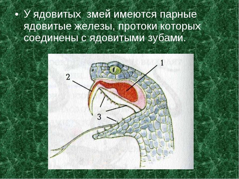 У ядовитых змей имеются парные ядовитые железы, протоки которых соединены с я...