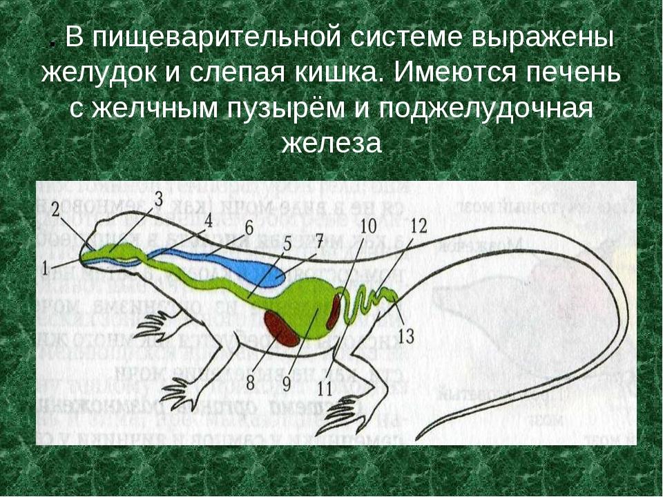 . В пищеварительной системе выражены желудок и слепая кишка. Имеются печень с...