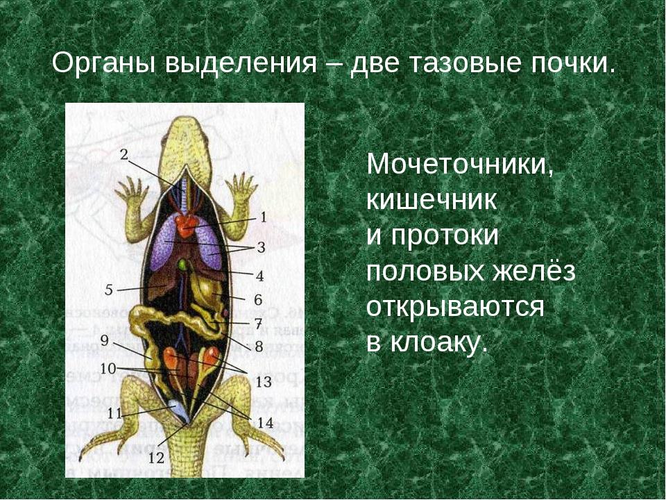 Органы выделения – две тазовые почки. Мочеточники, кишечник и протоки половых...