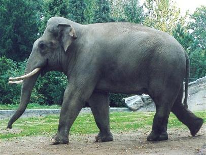 Власти Шри-Ланки завершили перепись слонов: насчитали почти 6 тысяч // Новости