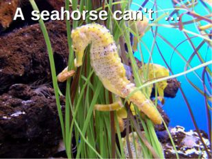 A seahorse can't …