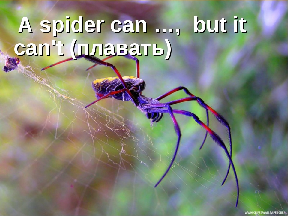 A spider can …, but it can't (плавать)