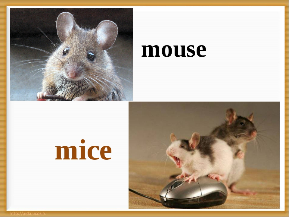 * mice mouse