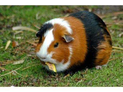 http://www.zoo.ro/poze-animale/porcusor-de-guineea-640.jpg