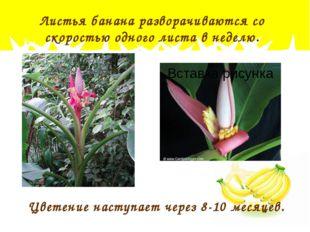 Листья банана разворачиваются со скоростью одного листа в неделю. Цветение на