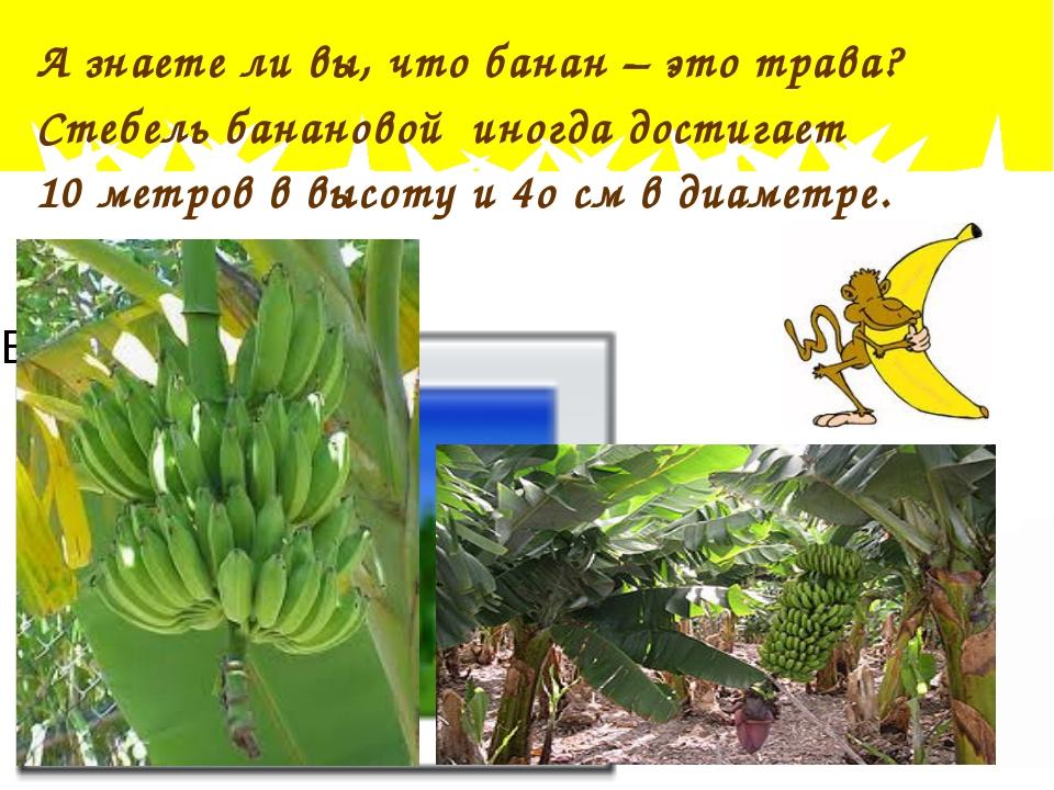 А знаете ли вы, что банан – это трава? Стебель банановой иногда достигает 10...