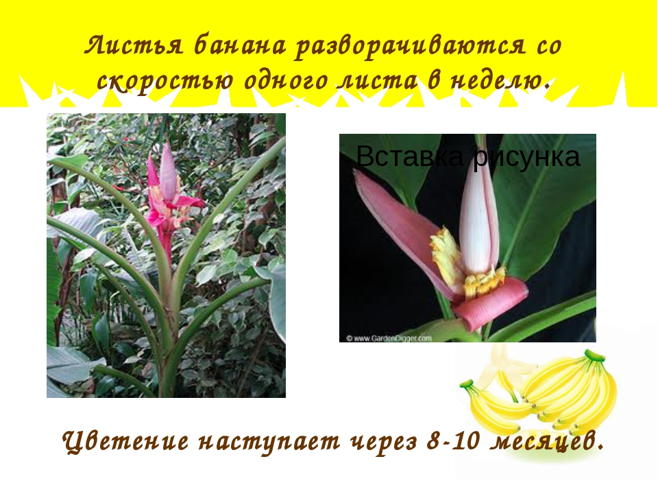 Листья банана разворачиваются со скоростью одного листа в неделю. Цветение на...
