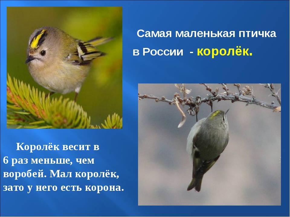 Самая маленькая птичка в России - королёк. Королёк весит в 6 раз меньше, чем...