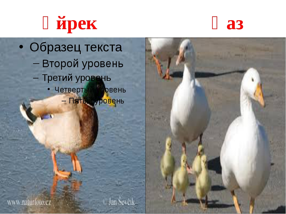 Үйрек Қаз