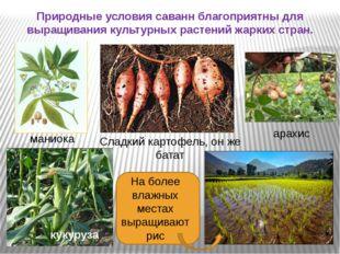 Природные условия саванн благоприятны для выращивания культурных растений жа