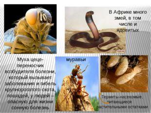 Муха цеце-переносчик возбудителя болезни, который вызывает заболевания и гибе
