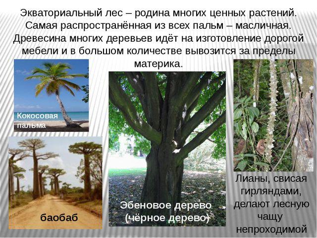 Экваториальный лес – родина многих ценных растений. Самая распространённая из...