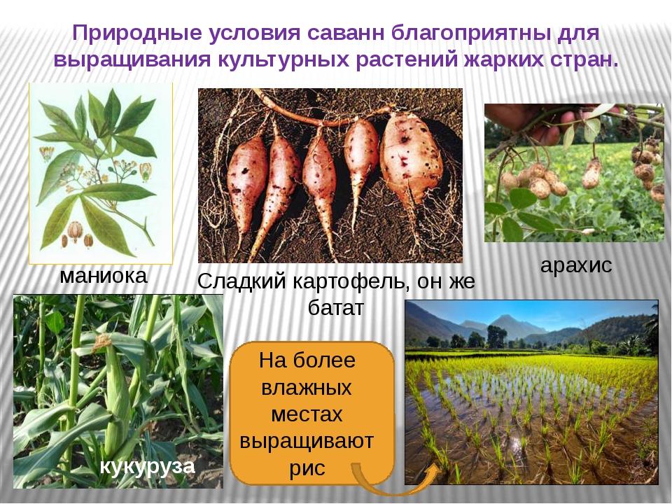 Природные условия саванн благоприятны для выращивания культурных растений жа...