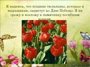 Я надеюсь, что поздние тюльпаны, которые я выращиваю, зацветут ко Дню Победы.