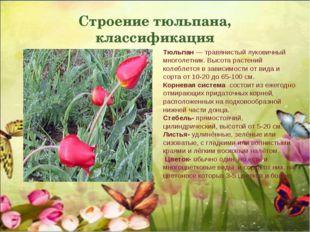 Строение тюльпана, классификация Тюльпан — травянистый луковичный многолетник