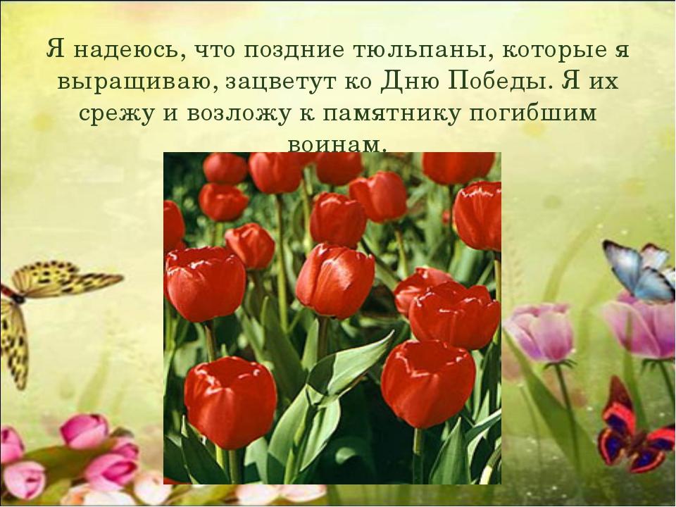 Я надеюсь, что поздние тюльпаны, которые я выращиваю, зацветут ко Дню Победы....