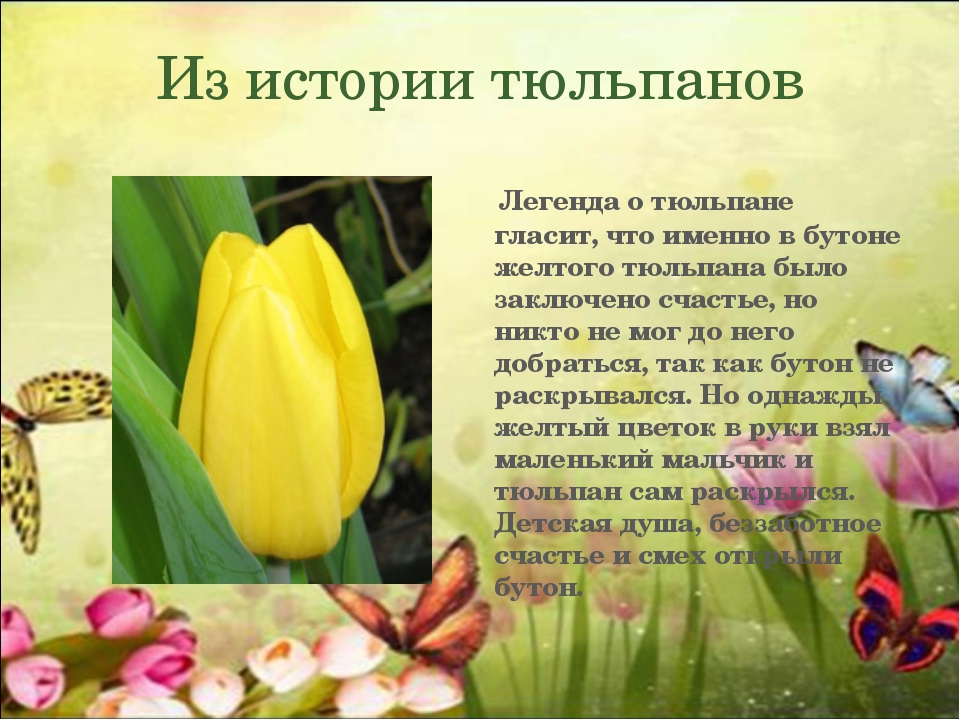 Из истории тюльпанов Легенда о тюльпане гласит, что именно в бутоне желтого т...