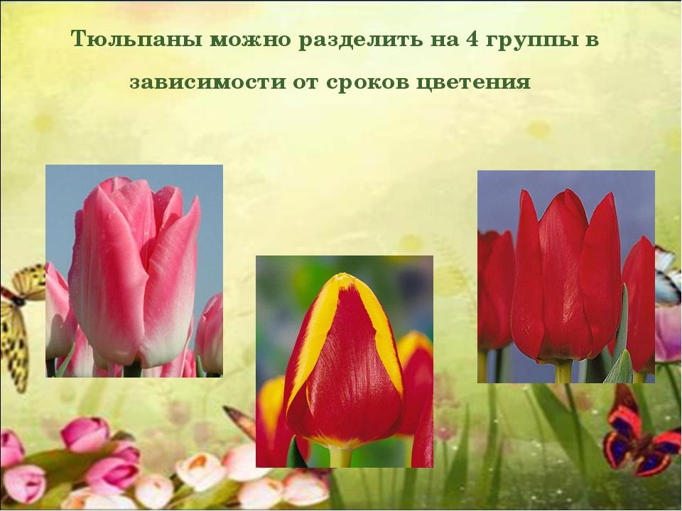 Тюльпаны можно разделить на 4 группы в зависимости от сроков цветения