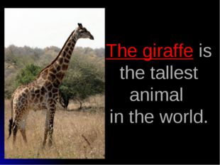 The giraffe is the tallest animal in the world.